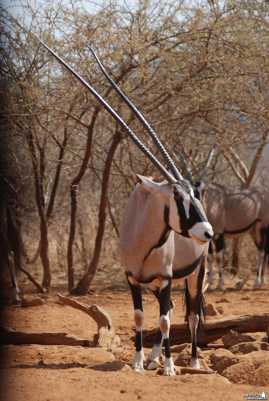 48 inch Oryx cow -Lindenhof Safaris