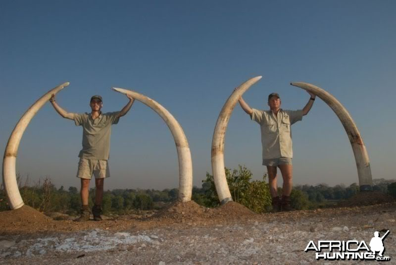 A set of 80 and 70 pound Elephant tusks
