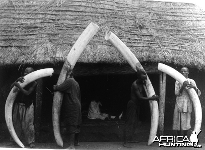 Elephant tusks from Congo circa 1904 - 1907