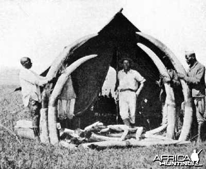 Elephant tusks from Congo circa 1910