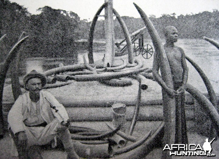 Large Forest Elephant Tusks from Congo