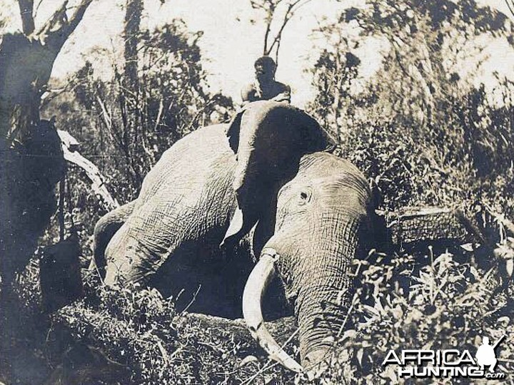 Big Trophy Elephant hunted around the 1930's