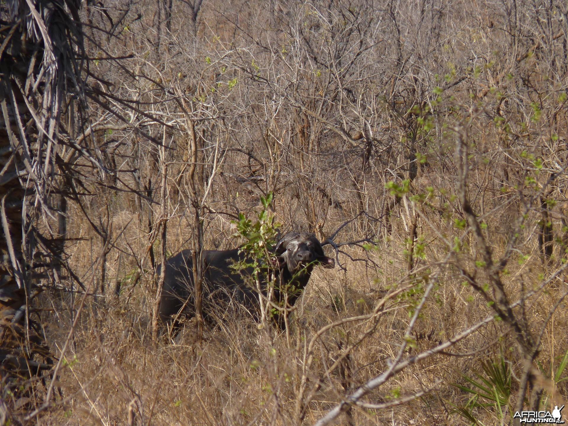 Old bull in Tanzania