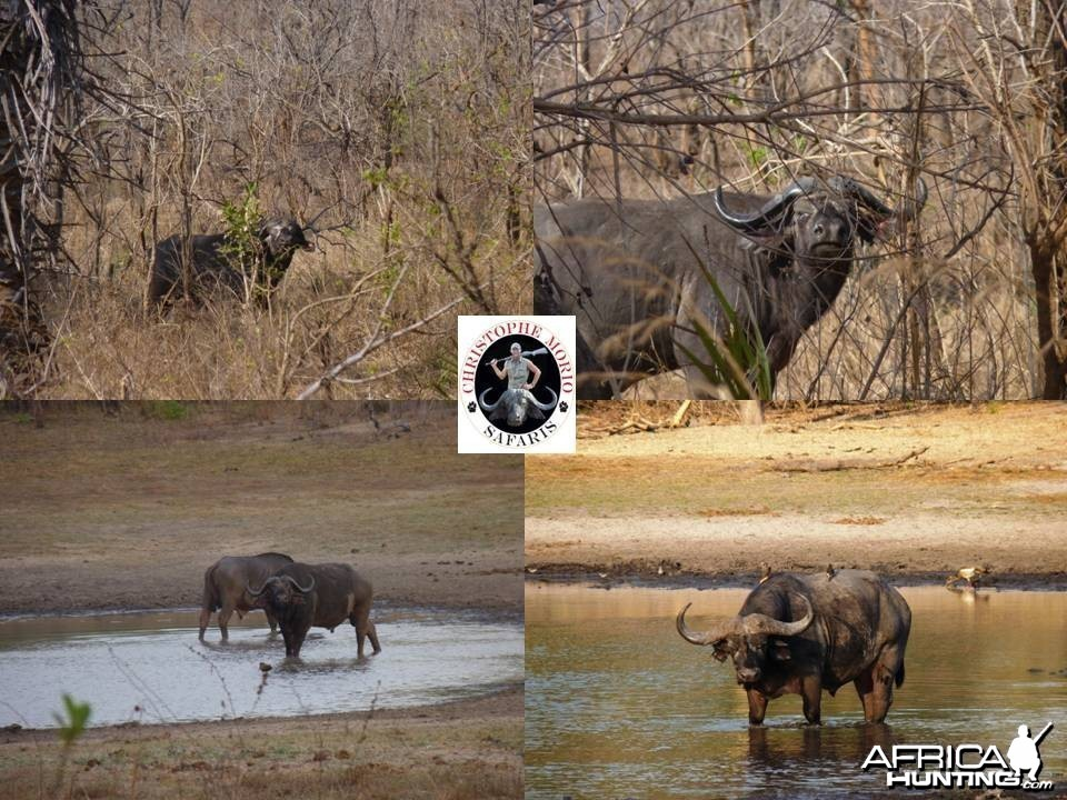 Buffaloes from Selous