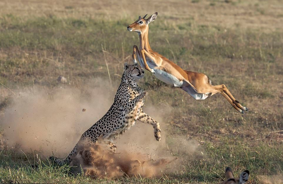 1-At_the_start_of_the_dust_up_the_impala_leaps_up_to_try_and_get_a-.jpg