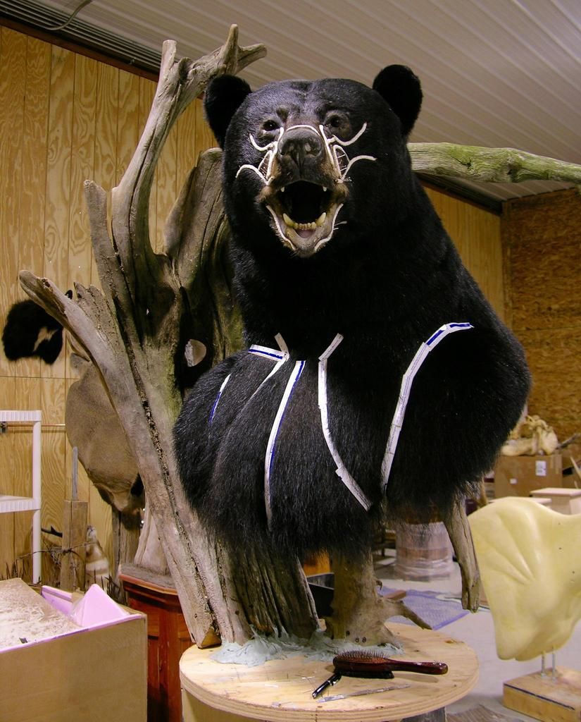 Huge Taxidermy Black Bear Not Big Huge Hunting