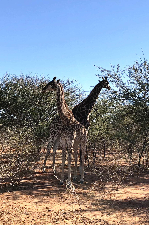 13.4 MK 2 giraffe.png