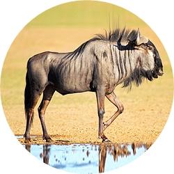13_animals_blue_wildebeest-crop.jpg