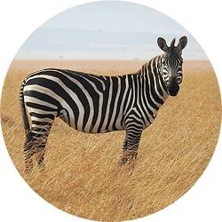 14_animals_zebra-crop.jpg