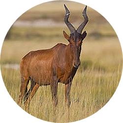 15_animals_red_hartebeest-crop.jpg