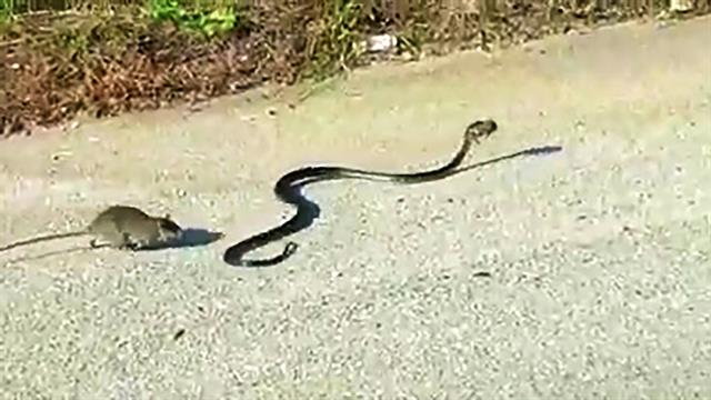 160705-mother-rat-saves-baby-from-snake-vin__640x360_718986307526.jpg