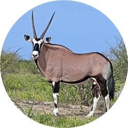 16_animals_gemsbok-crop.jpg