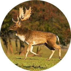 17_animals_fallow-deer-crop.jpg