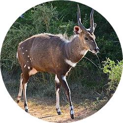 18_animals_bushbuck-crop.jpg