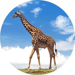 19_animals_giraffe-crop.jpg