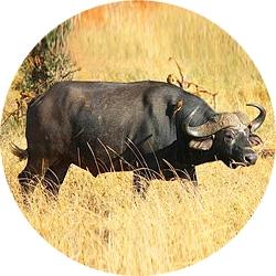 1_animals_buffalo.jpg