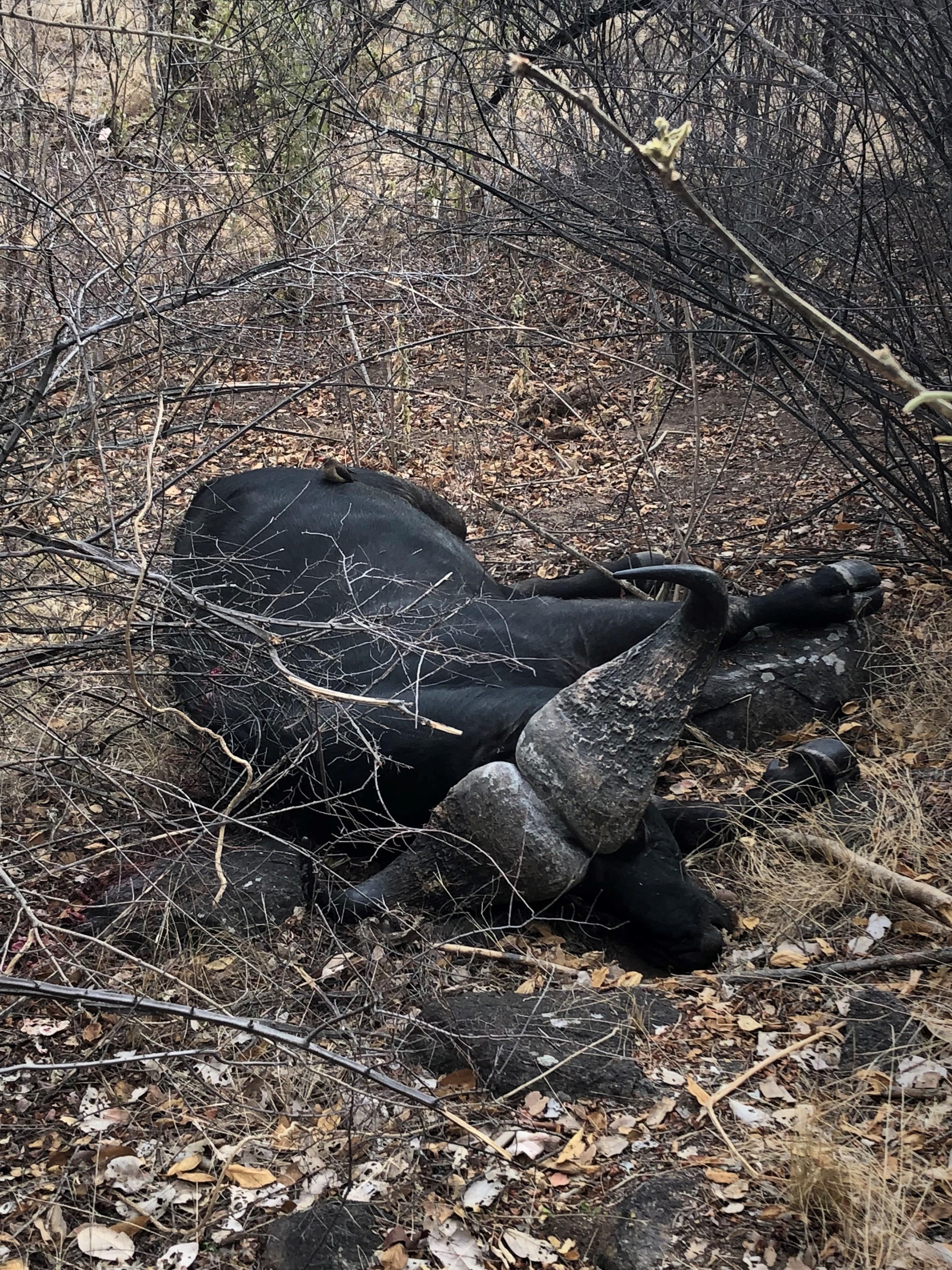 2. Bull is down.jpg