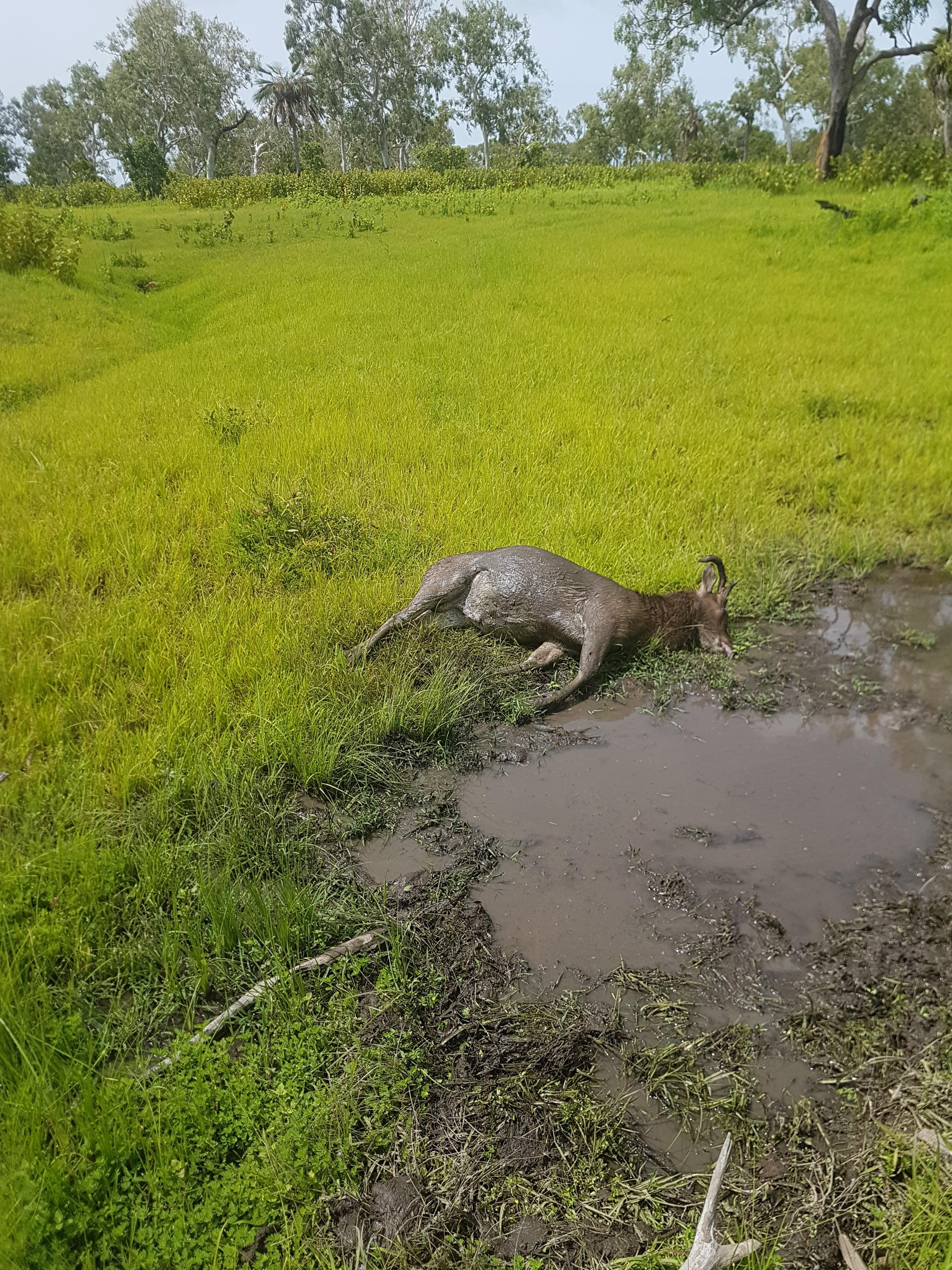 20190301_105151.jpg Rusa deer shot in swampy country.jpg
