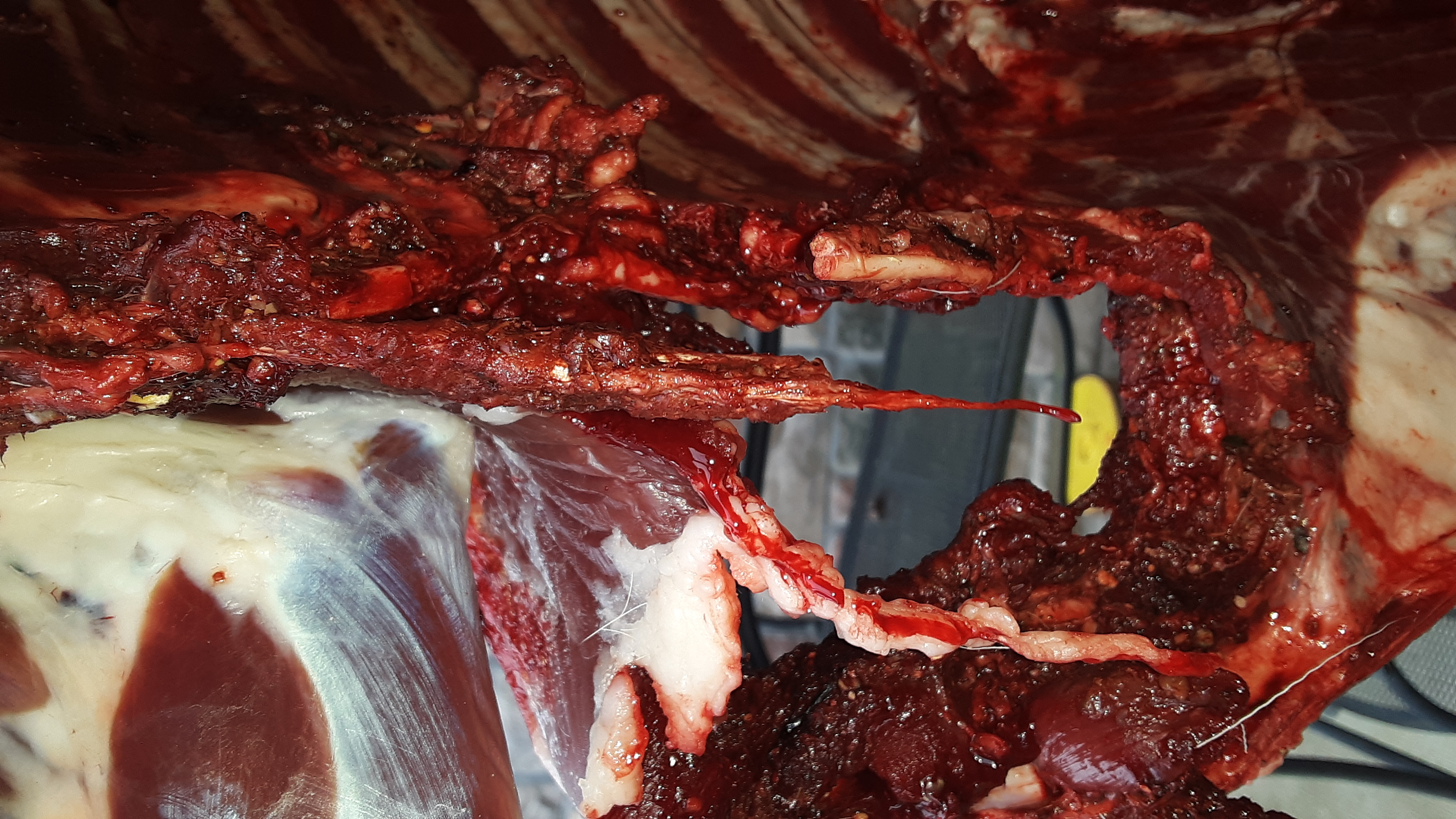 2020 Small Doe Exit wound internal view.jpg