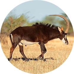 20_animals_sable-crop.jpg
