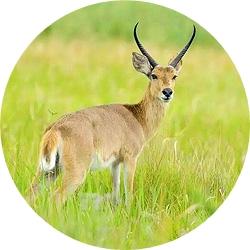 22_animals_common_reedbuck-crop.jpg
