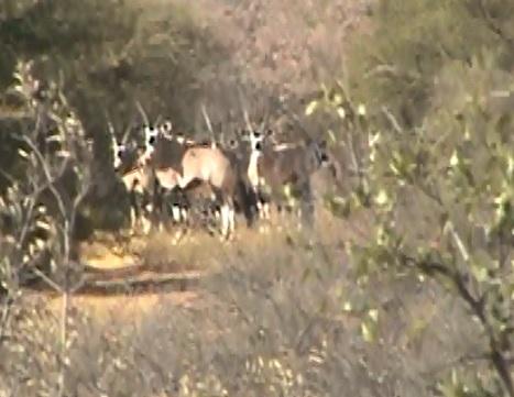 23.5 gemsbok herd.jpg