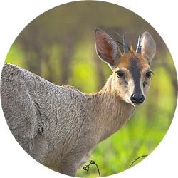 23_animals_duiker-crop.jpg