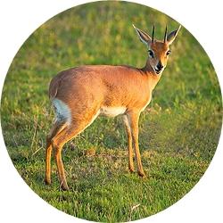 24_animals_steenbuck-crop.jpg