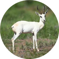 26_animals_white-springbuck-crop.jpg