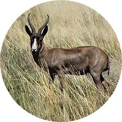 27_animals_black-springbuck-crop.jpg