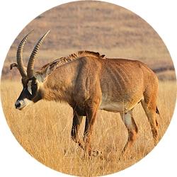 28_animals_roan-antelope-crop.jpg