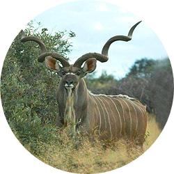 2_animals_kudu.jpg