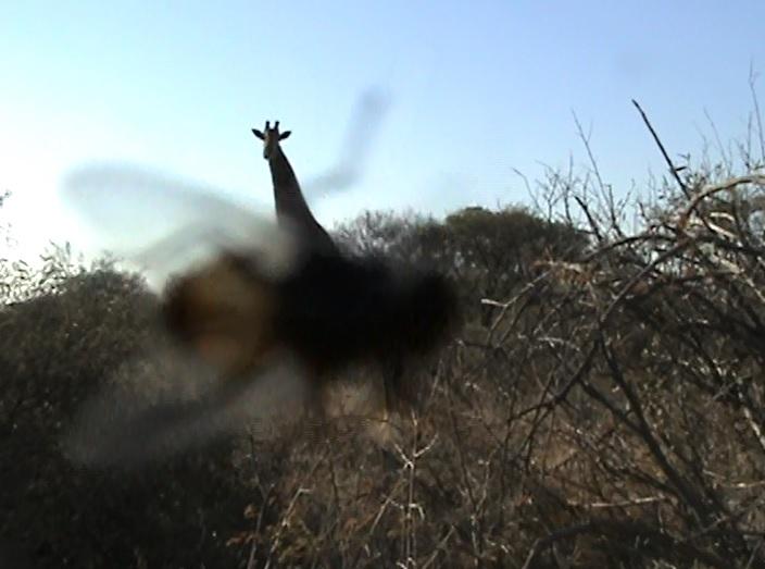 3.05 fly giraffe.jpg
