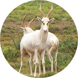 30_animals_white-blesbuck-crop.jpg