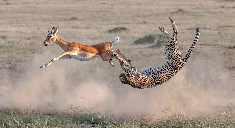 4-Oh_deer_Not_wanting_her_dinner_to_flee_the_cheetah_firmly_grasps-a-.jpg