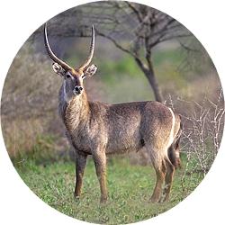4_animals_waterbuck.jpg