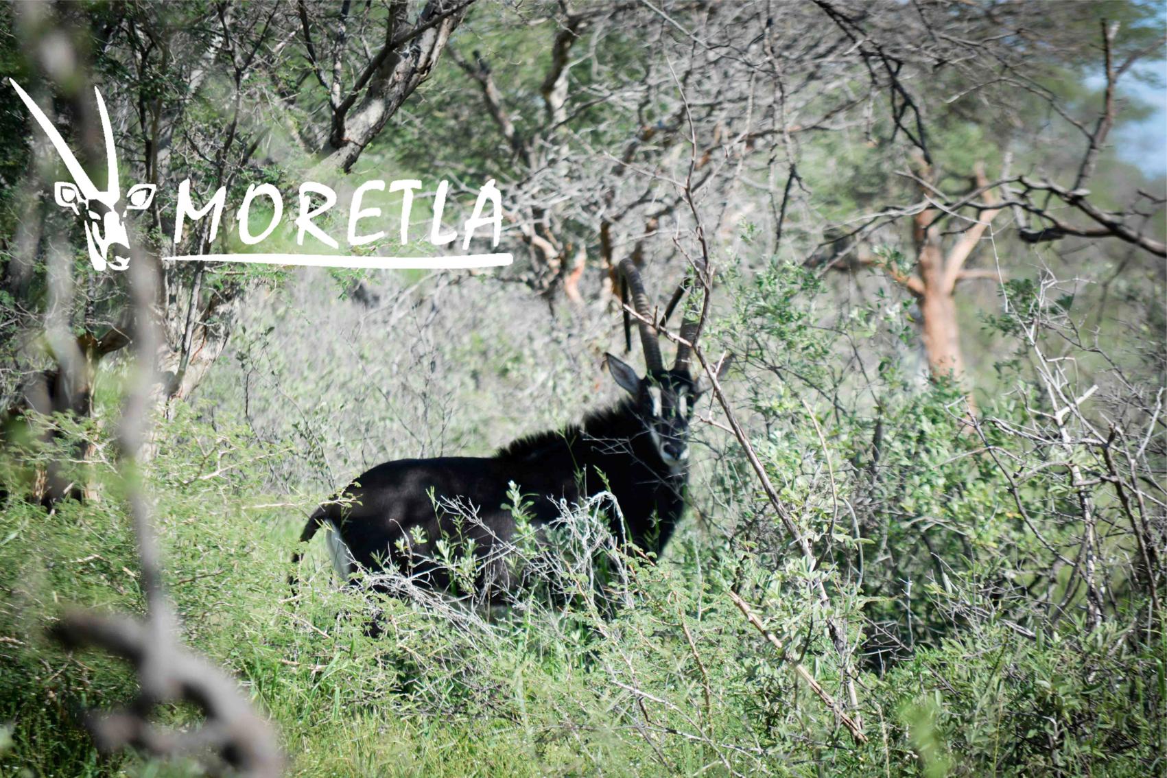 """50"""" Sable Bull Moretla Safris...... (1 of 1).jpg"""