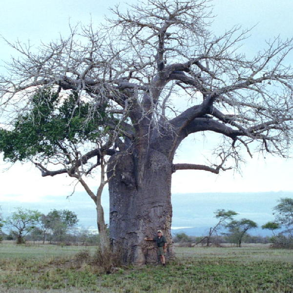 5616Boabab_Tree_2002.jpg