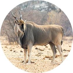 5_animals_eland.jpg