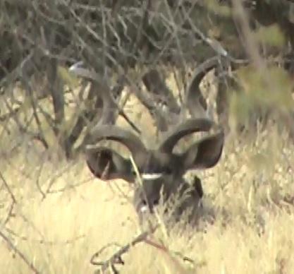 7.1 bedded kudu.jpg