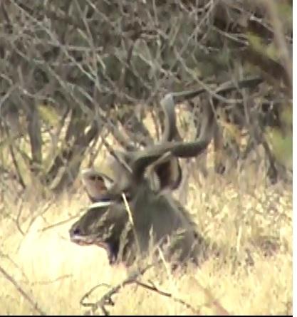 7.2bedded kudu.jpg