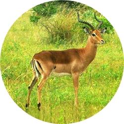 7_animals_impala.jpg