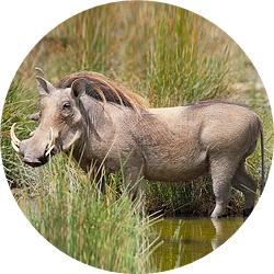 8_animals_warthog.jpg