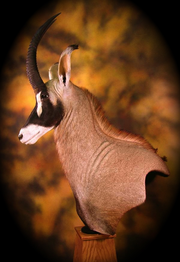 Chess Piece Roan Taxidermy… | Hunting