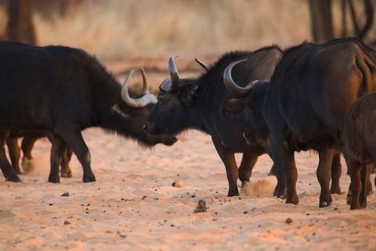 actions-ongoing-to-reduce-waterberg-buffalo2017-10-130.jpg