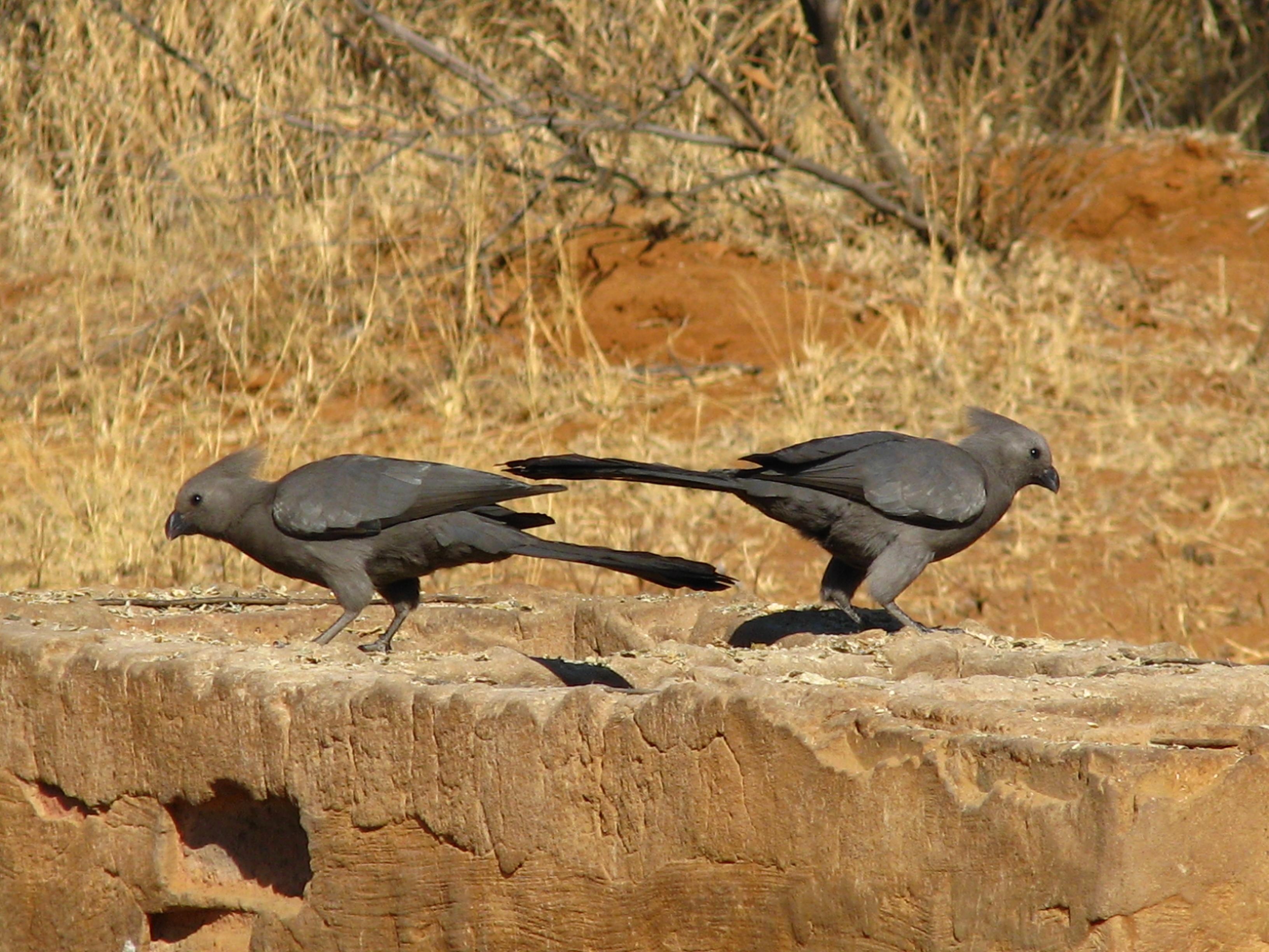 African cardinals.JPG