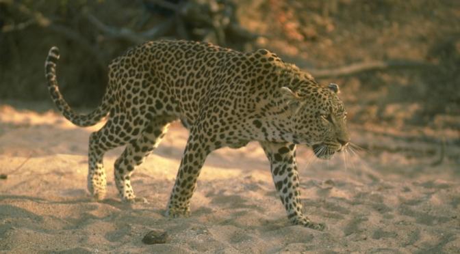 african-leopard-122816.jpg