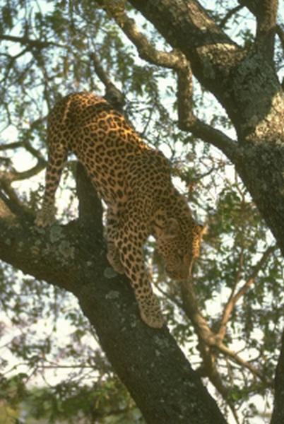 african-leopard-2-122816.jpg