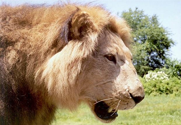 AfricanLion-BarbaryLionMount-15-Outdoors'98Sft-A.jpg