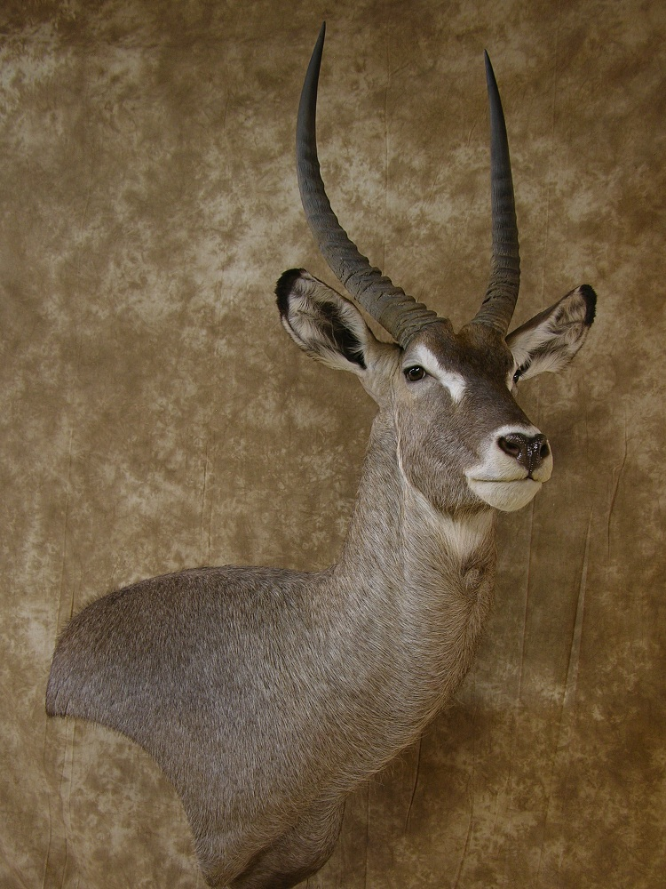 Aspen_waterbuck_1.jpeg